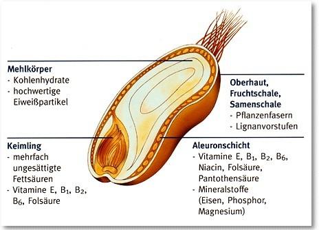 Bild: beschrifteter Querschnitt eines Getreidekorns