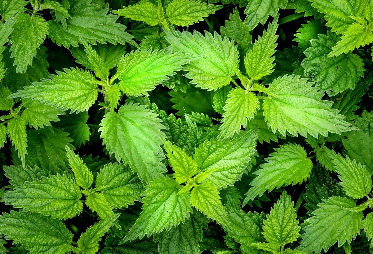 Bild: Blog - grüne Brennnesseln