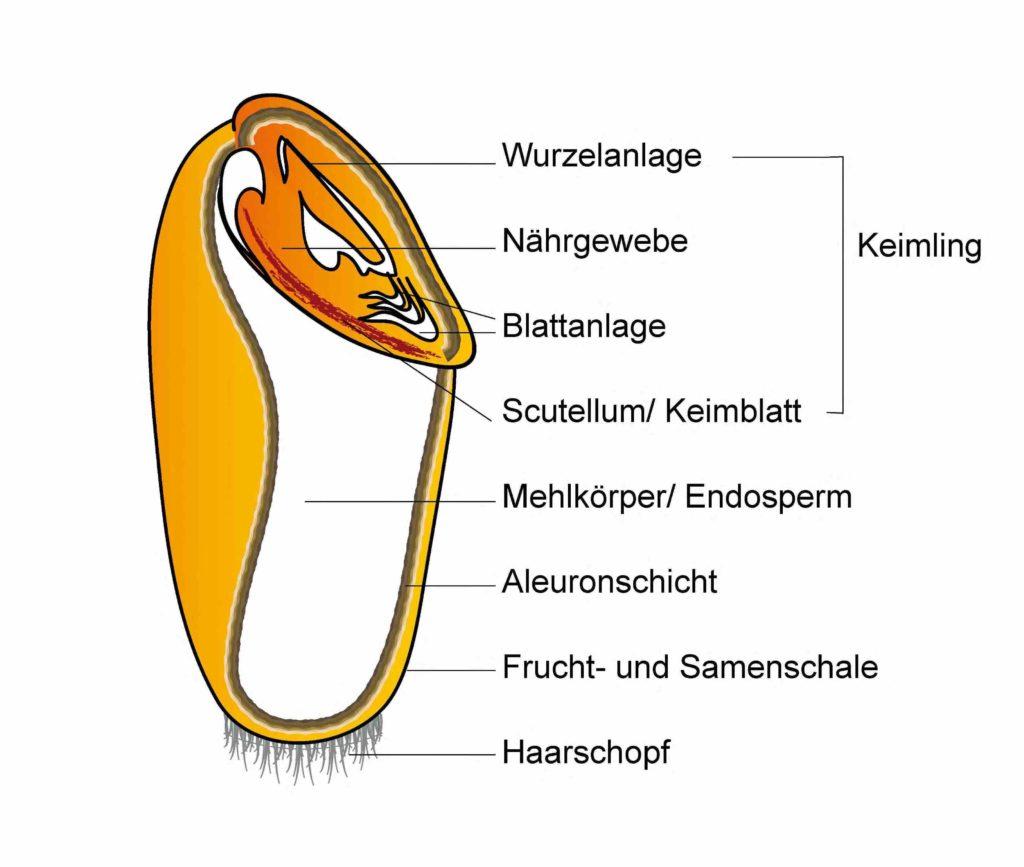 Bild: Querschnitt durch ein Weizenkorn