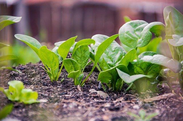 Bild: Spinat in der Erde