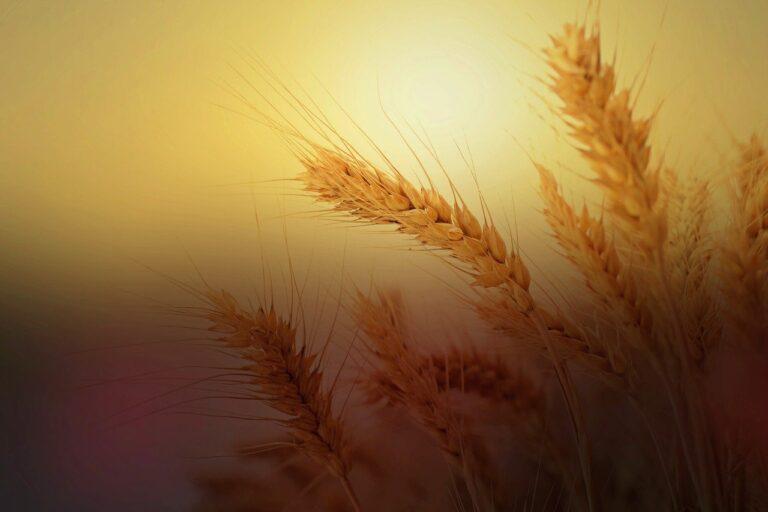 Bild: Natives Eiweiss - rohes Getreide