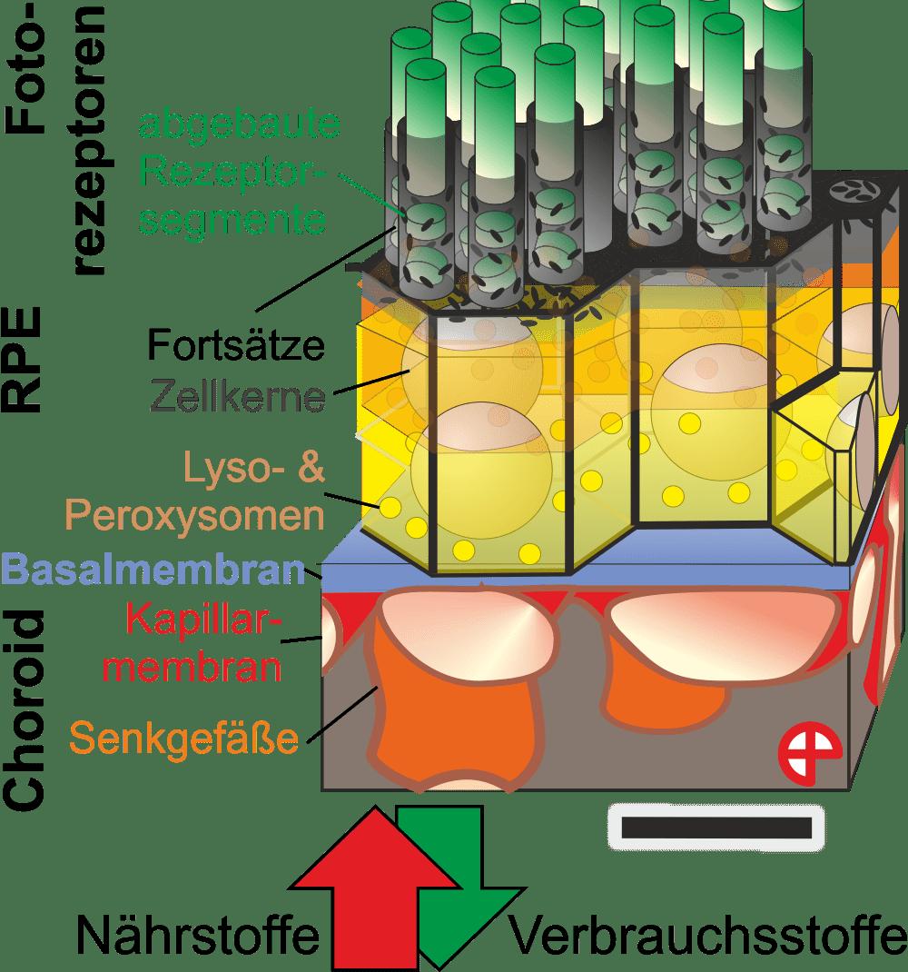 Grafik: Zelle, Basalmembran