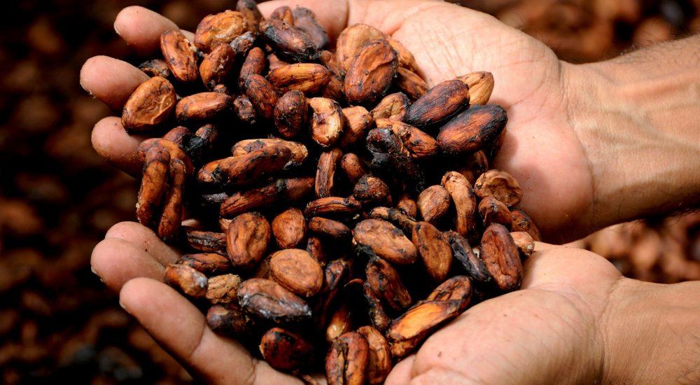 Bild: 2 Hände halten rohe, braune Kakaobohnen.