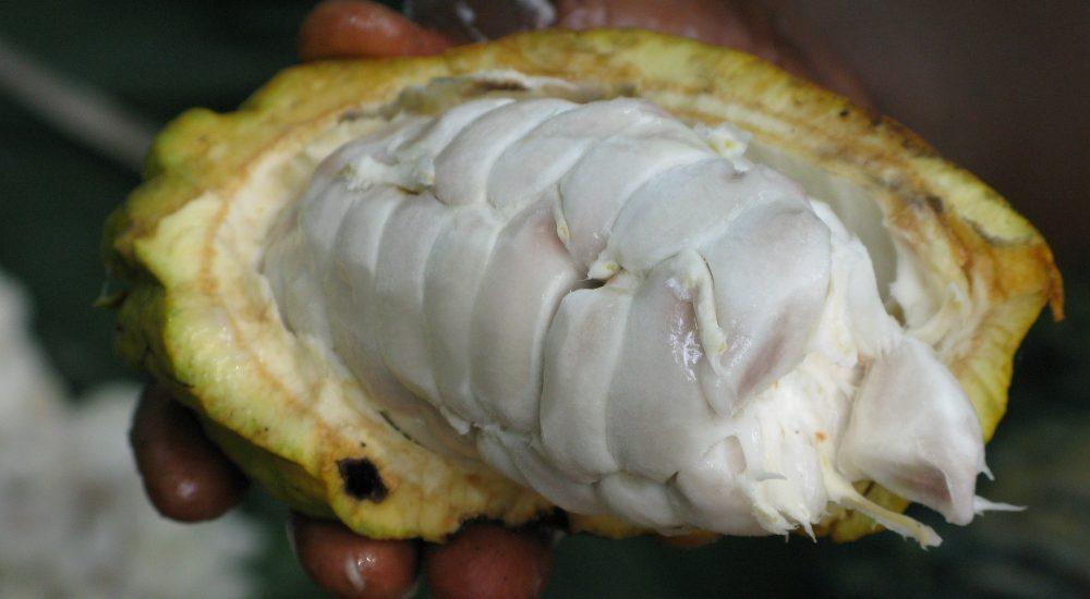 Bild: rohes Kakaobohne mit weissem Fleisch